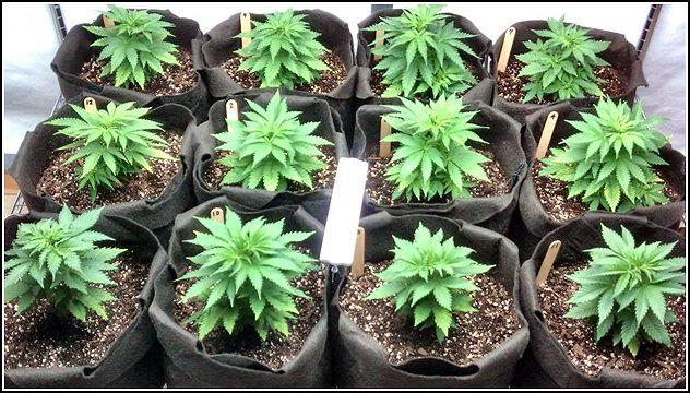 Cannabis The Wonder Healing Drug