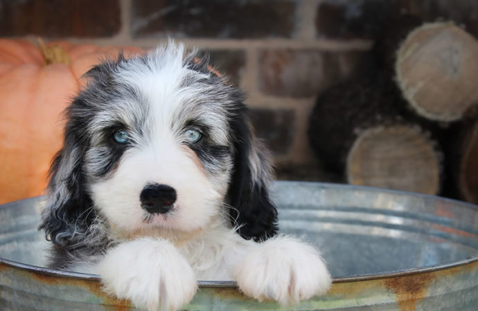 Puppies For Sale The Various Aspects
