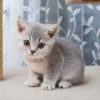 Looking for a Cuddly Kitty? Try an Exotic Shorthair